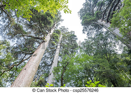 Stock Photo of Large japanese cedar forest.