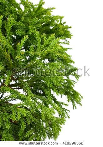 """""""japanese Cedar"""" Stock Photos, Royalty."""
