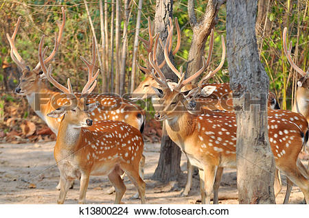 Stock Photo of Japanese deer k13800224.
