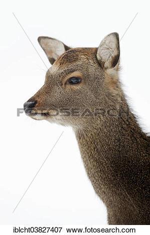 """Picture of """"Sika Deer, Spotted Deer or Japanese Deer (Cervus."""
