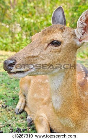 Stock Photography of japanese deer k13267310.