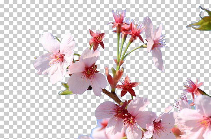 Cherry Blossom Japan Floral Design Flower PNG, Clipart, Blossom.