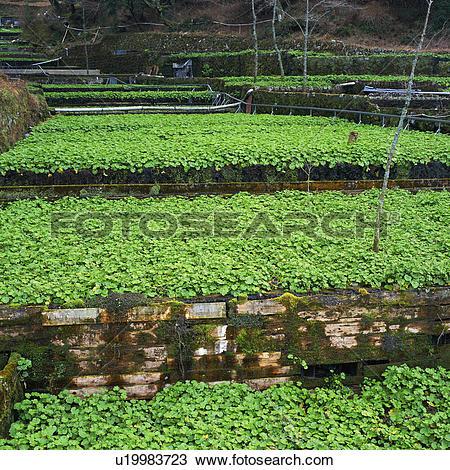 Stock Photo of Japanese horseradish field in Nakaizu, Shizuoka.