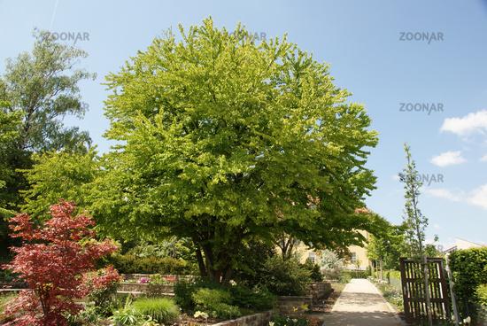 Photo Cercidiphyllum japonicum, Katsurabaum, katsura tree Image.
