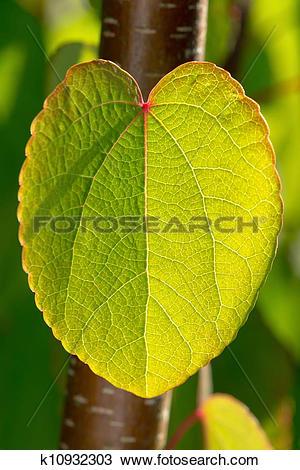 Stock Photo of Katsura leaf.