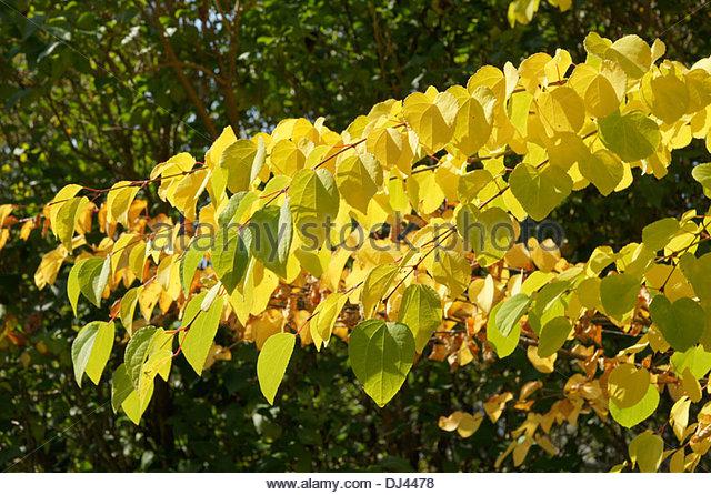 Cercidiphyllum Stock Photos & Cercidiphyllum Stock Images.