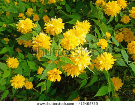 "kerria Japonica"" Stock Photos, Royalty."