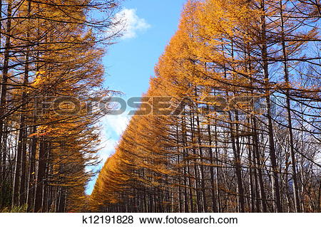 Pictures of Autumn Japanese larch k12191828.