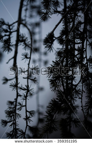 Weeping Japanese Larch Pine Tree At Dusk, Abstract Close Up Still.