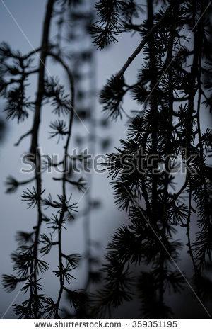 Weeping Japanese Larch Pine Tree At Dusk, Abstract Close Up Still.