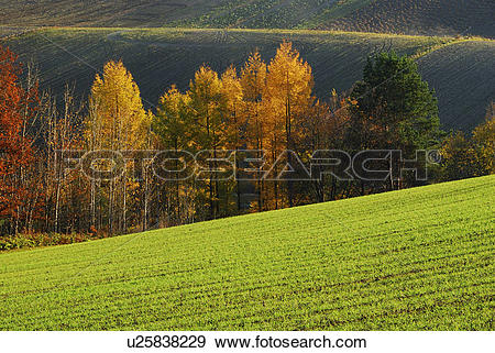 Stock Photograph of Japanese larch trees in autumn, Hokkaido.