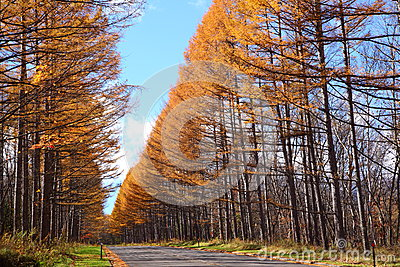 Autumn Japanese Larch Stock Photography.