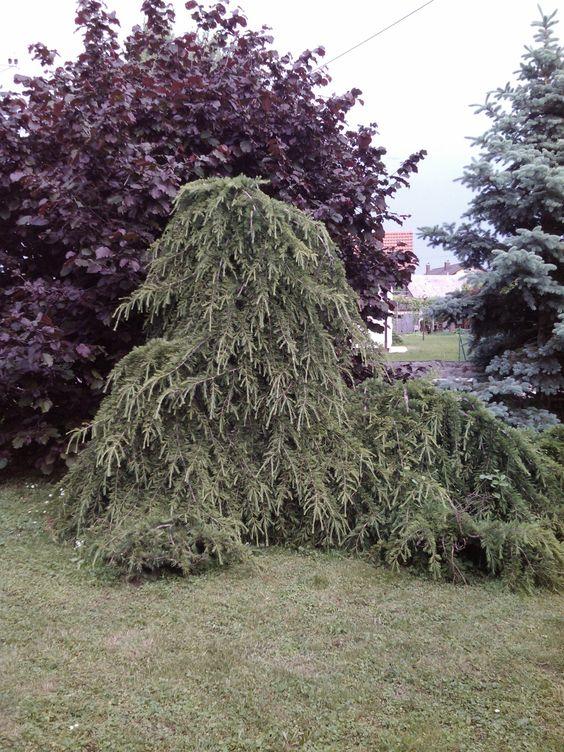 Hazelnut tree, Weeping Japanese larch ( Larix kaempferi 'Pendula.