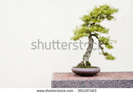"larch_bonsai"" Stock Photos, Royalty."