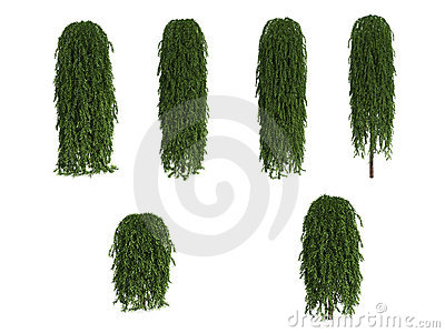 Weeping Japanese Larch Stock Images.