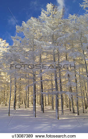 Stock Photograph of Japanese larch in winter, low angle view.