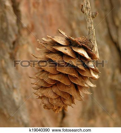 Stock Photography of Japanese Larch Cone k19040390.