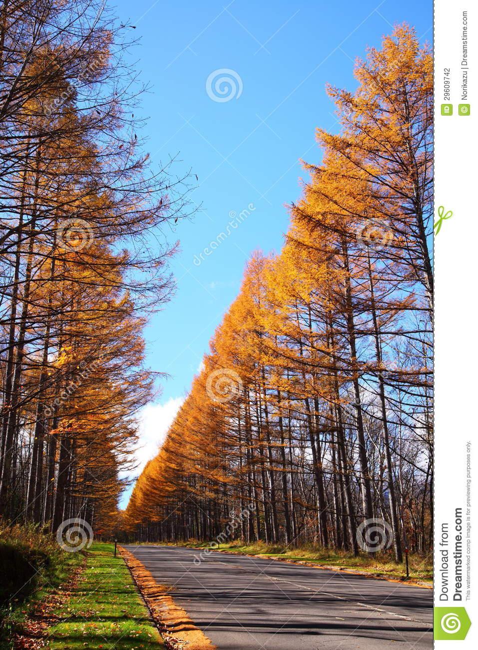 Autumn Japanese Larch Stock Photography.