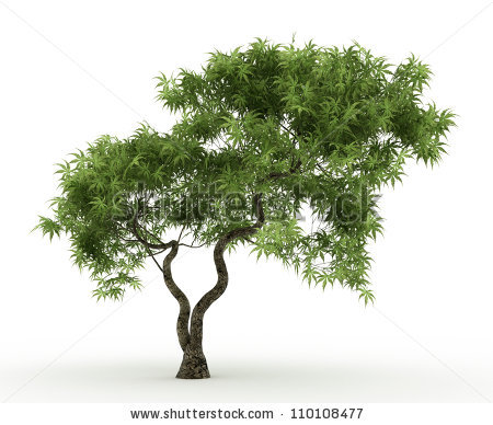 Japanese Maple Tree Stock Photos, Royalty.