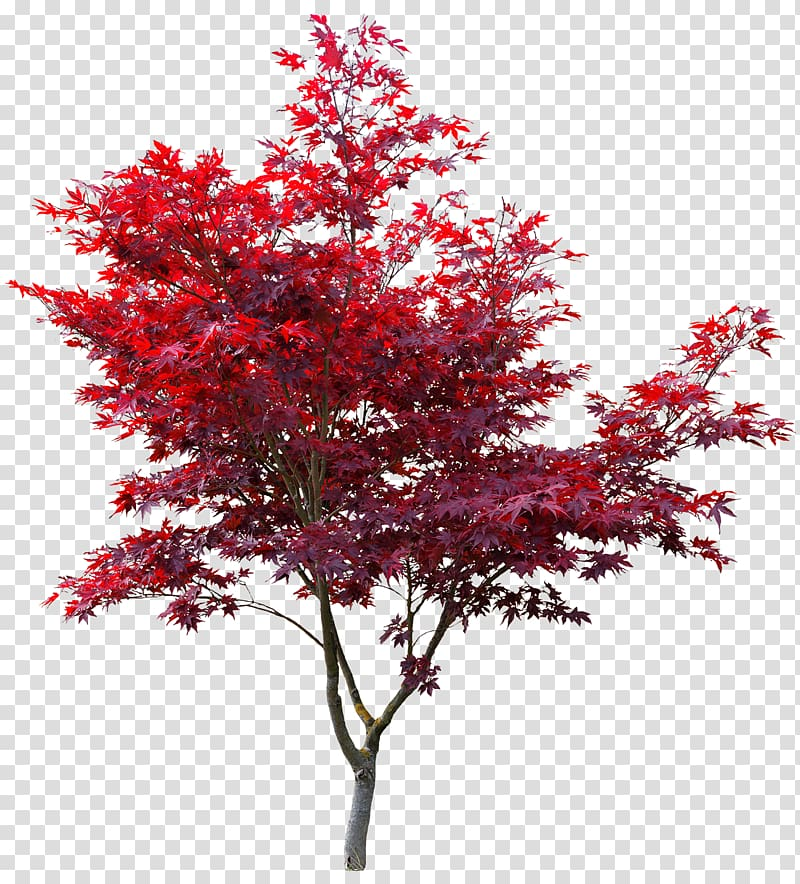 Red maple tree, Japanese maple Red maple Autumn leaf color.