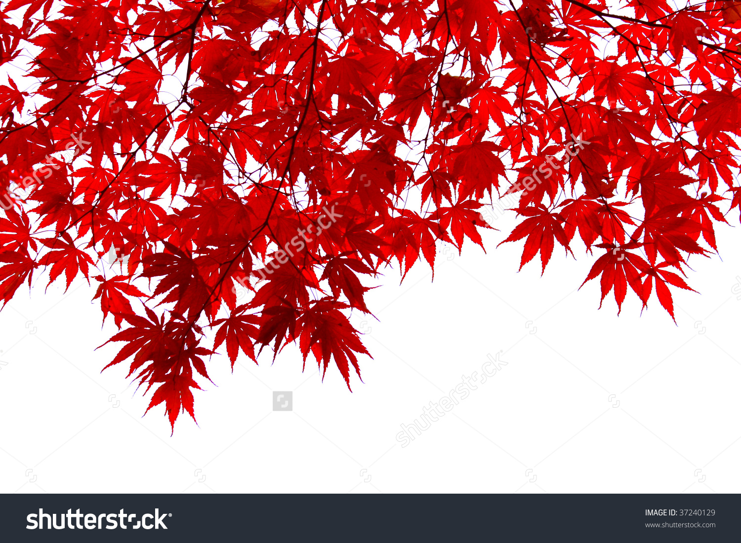 Red Japanese Maple Leaves Stock Photo 37240129.