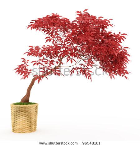 Japanese Maple Tree Stock Photos, Royalty.