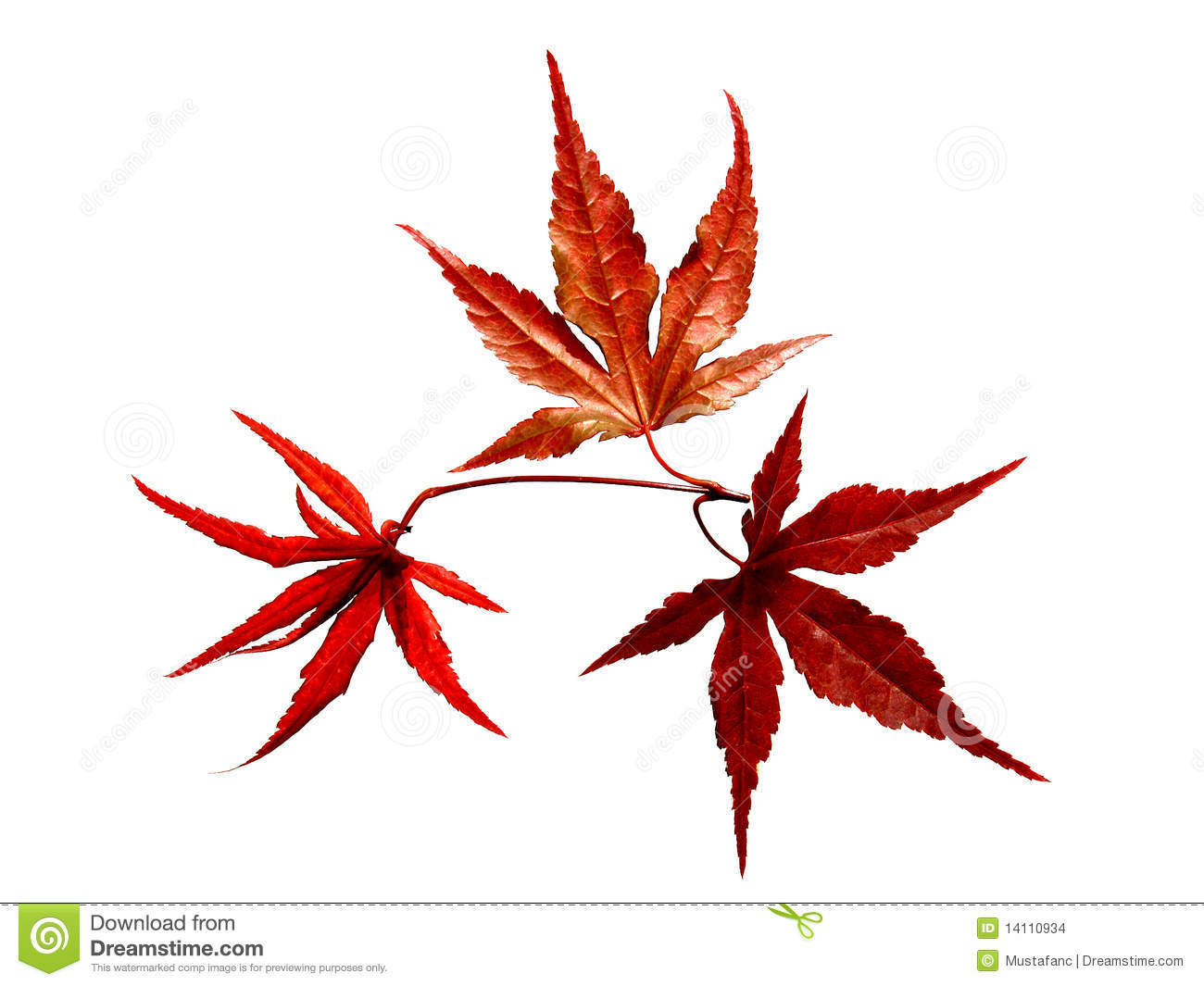 Close Up Of Red Japanese Maple Tree Stock Photo.