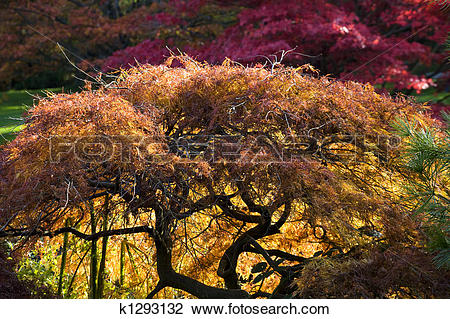 Stock Photo of Japanese Maple Red Leaves Fall Colors Van Dusen.