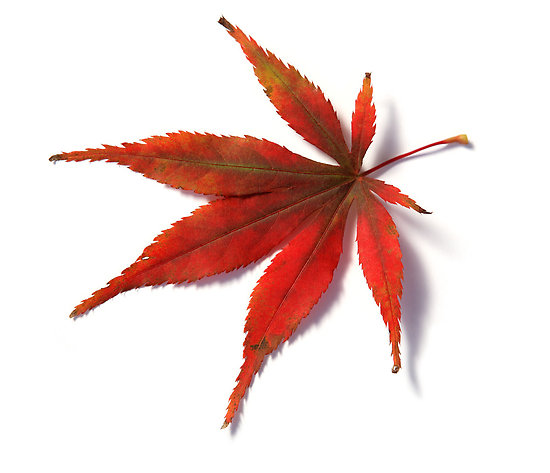 japanese maple leaf.