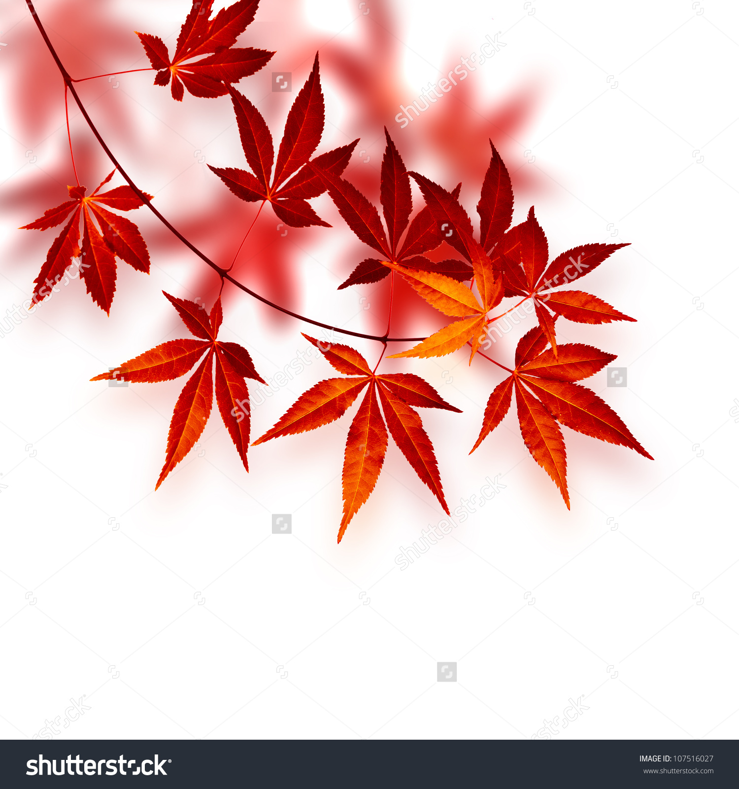 Autumn Card Japanese Red Maple Tree Stock Photo 107516027.