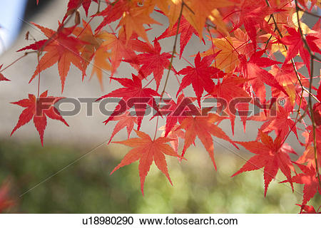 Stock Photography of Red and orange Japanese maple leaves in.