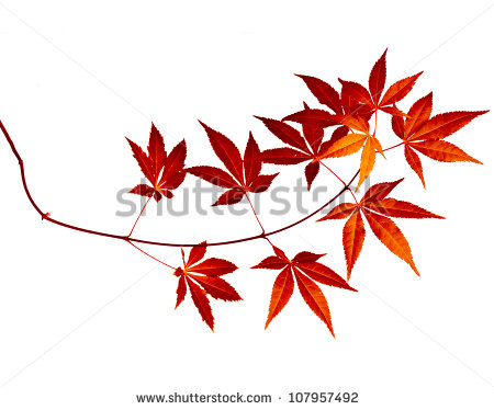 Japanese Maple Stock Photos, Royalty.