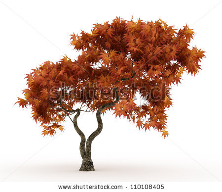 Japanese Maple Tree Stock Images, Royalty.