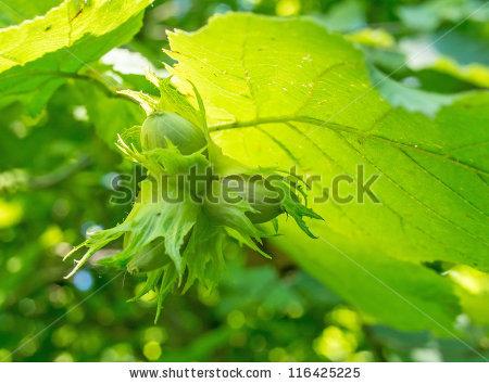 Raisin Tree Stock Photos, Royalty.