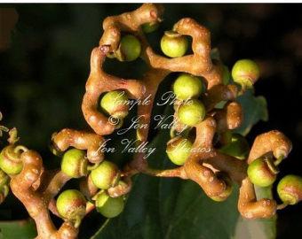 ON Sale Macadamia Nut Tree seeds Macadamia integrifolia Ships.