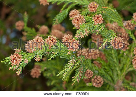 Cupressus Stock Photos & Cupressus Stock Images.