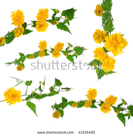 Kerria japonica free stock photos download (19 Free stock photos.