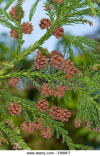 Japanese Cedar Cryptomeria Japonica Stock Photos & Japanese Cedar.