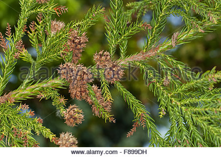 Cryptomeria Japonica Stock Photos & Cryptomeria Japonica Stock.