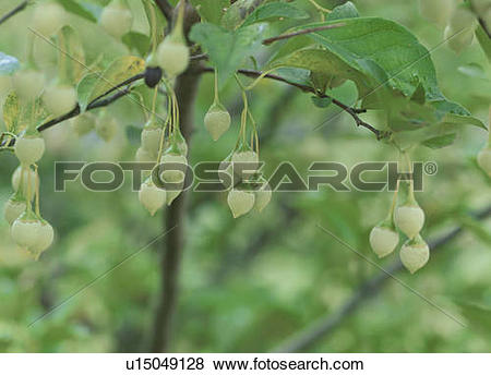 Pictures of Fruit of Japanese snowbell. Tochigi Prefecture, Japan.