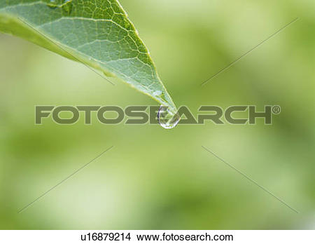 Stock Photo of Waterdrop on Japanese snowbell leaf. Tochigi.