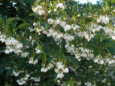 Japanese Snowbell Styrax japonica, native to China & Japan.