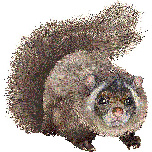 Japanese Giant Flying Squirrel clipart graphics (Free clip art.