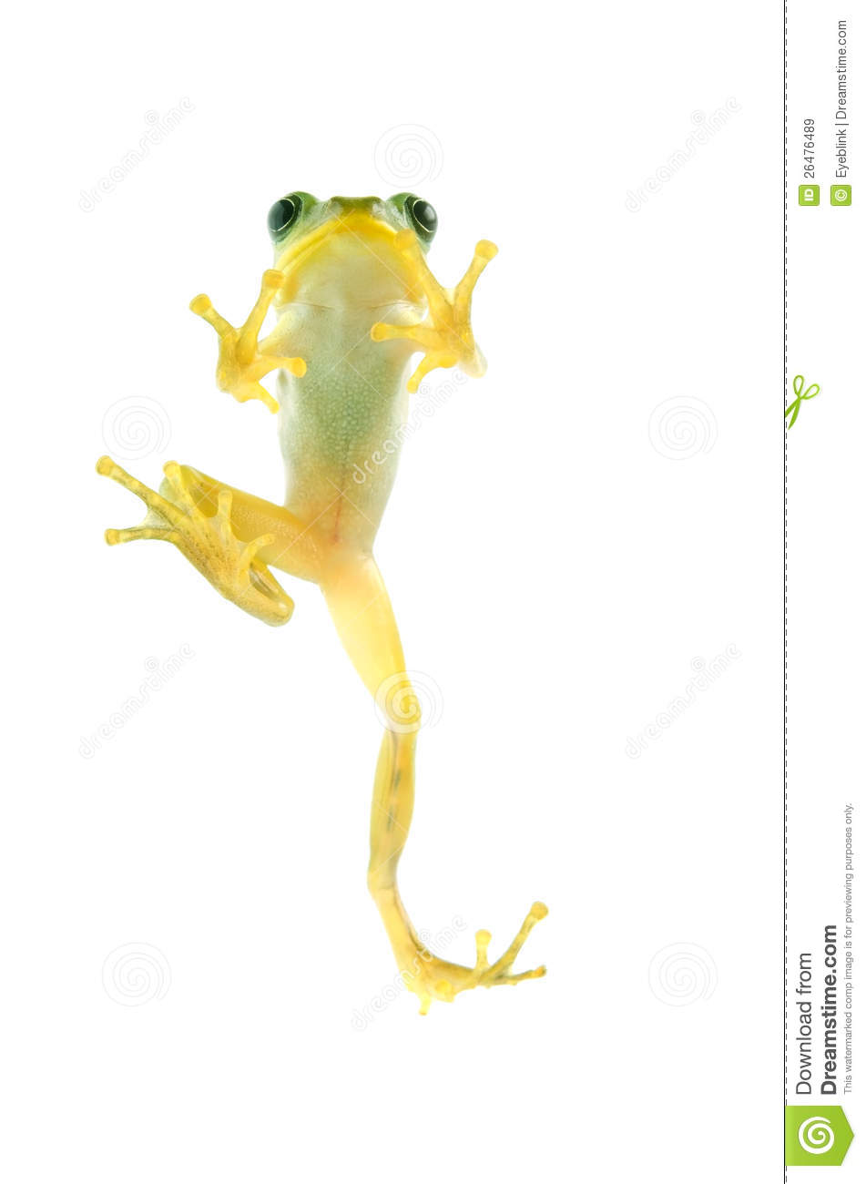 Japanese Tree Frog Royalty Free Stock Images.