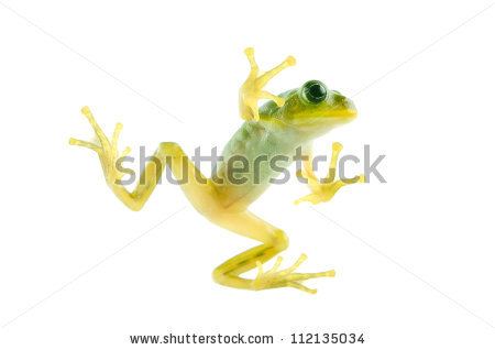 Japanese Tree Frog Stock Photos, Images, & Pictures.