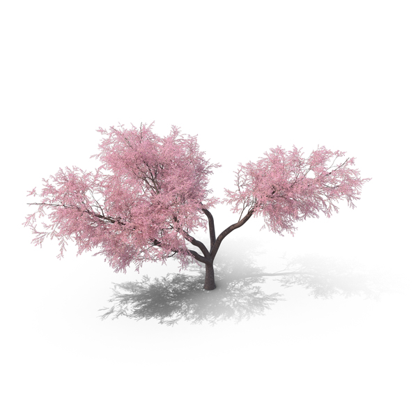 Japanese Cherry Tree PNG Images & PSDs for Download.