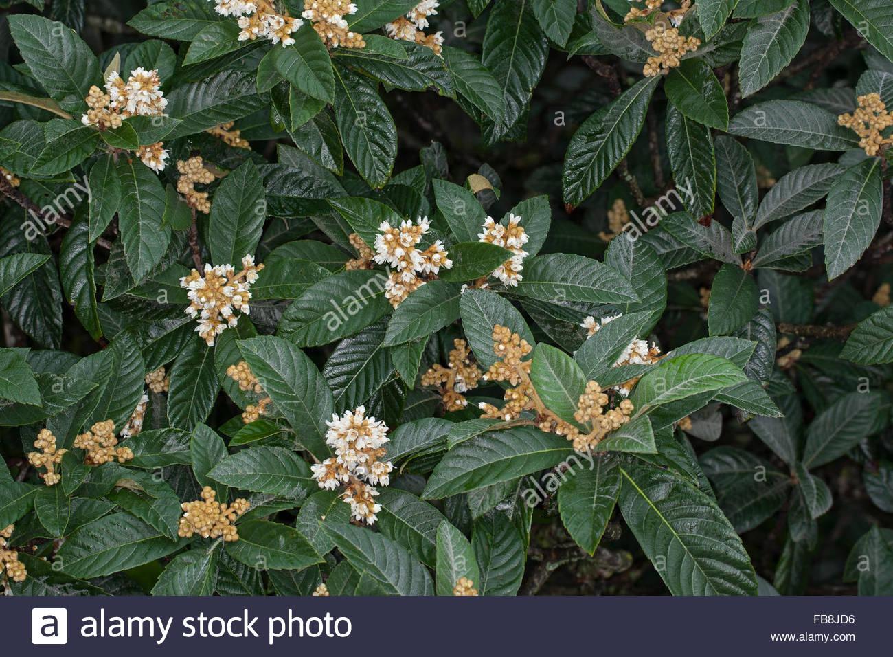 Japanese Medlar, Japanese Plum, Chinese Plum, Japanische.