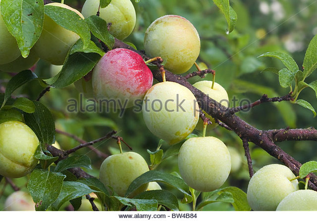 Japanese Plum Stock Photos & Japanese Plum Stock Images.