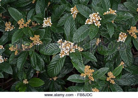 Loquat Or Japanese Medlar (eriobotrya Japonica), Province Of.
