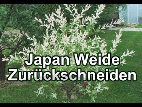 Japan Weide Zurückschneiden / Harlekin.